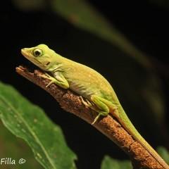 Jesli jest tu jakis herpetolog to możne zidentyfikować co to za gatunek. Zdjęcie zrobione w Kostaryce na półwyspie Osa.